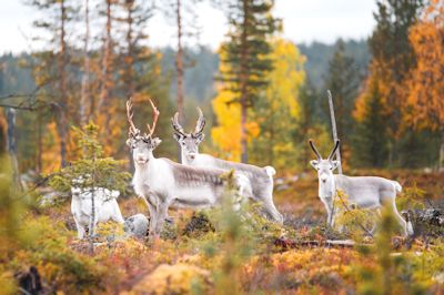 voir animaux rennes visite rencontre finlande laponie voyage sejour ete 2021 2022