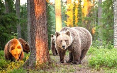 voyage sejour safari ours bruns ete finlande laponie 2020 2021 2022 observation ours brun scandinavie suede norvege
