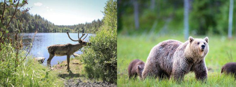 voir observer ours rennes animaux sauvages finlande laponie voyage sejour 2020 2021 2022 ours bruns scandinavie suede norvege